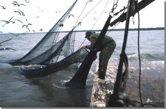 Figure 3: Shrimper Dale Davis attaching a lazy line to the tail bag, 1985