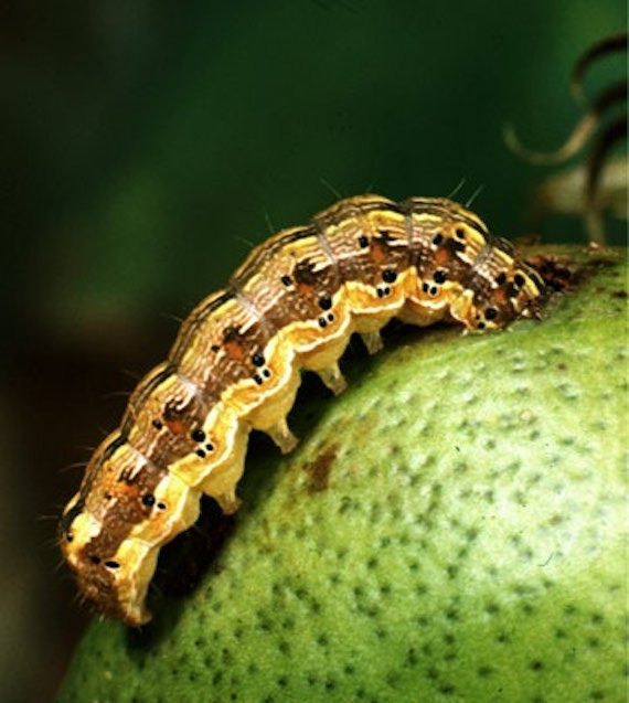 Bollworm attacking boll