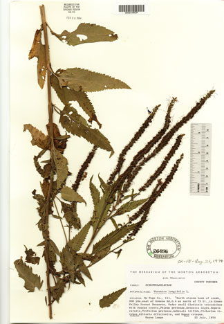 Herbarium Sheet: Veronica longifolia